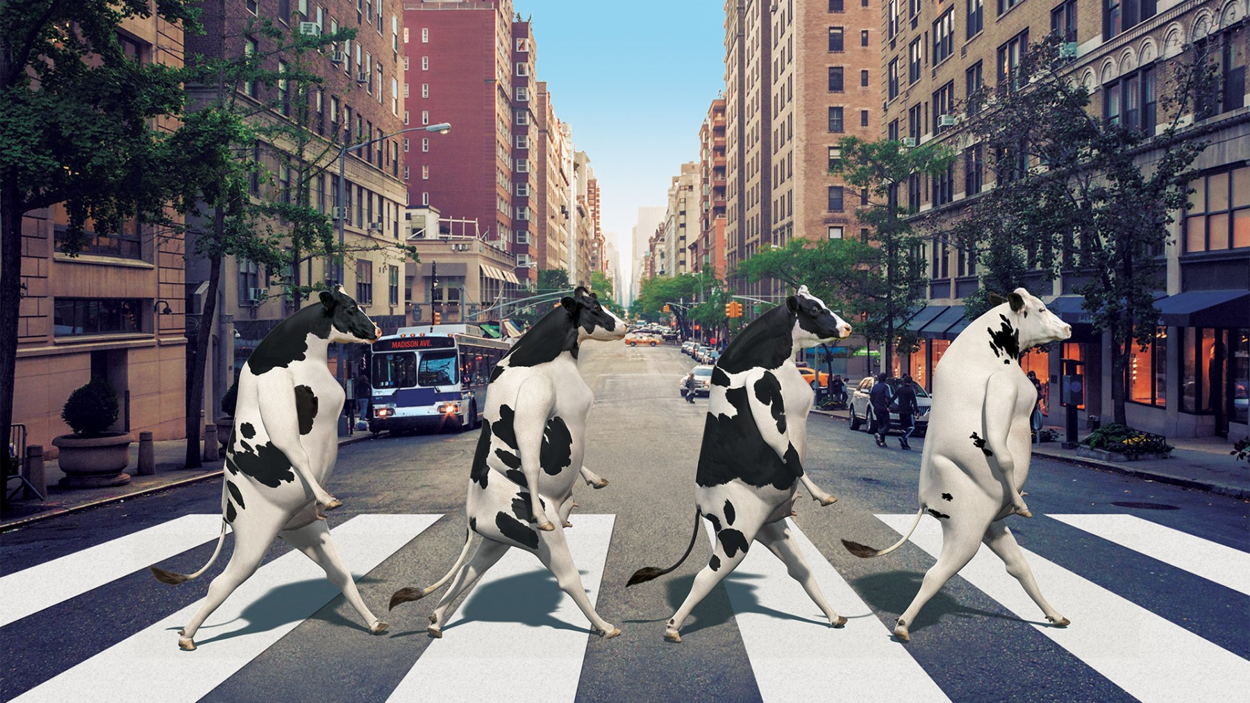 MADISON AVE. COWS