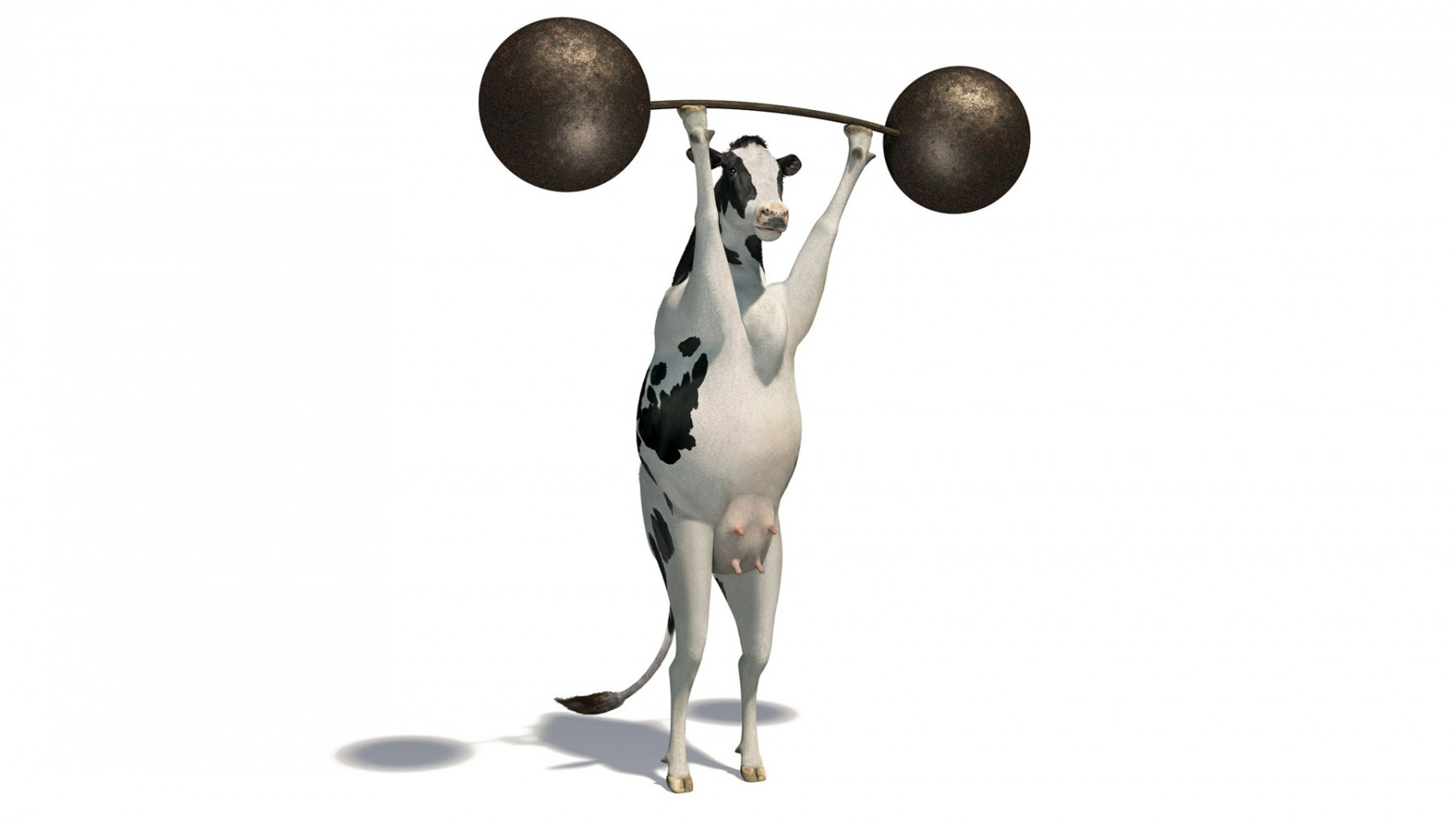 WEIGHTLIFTING COW