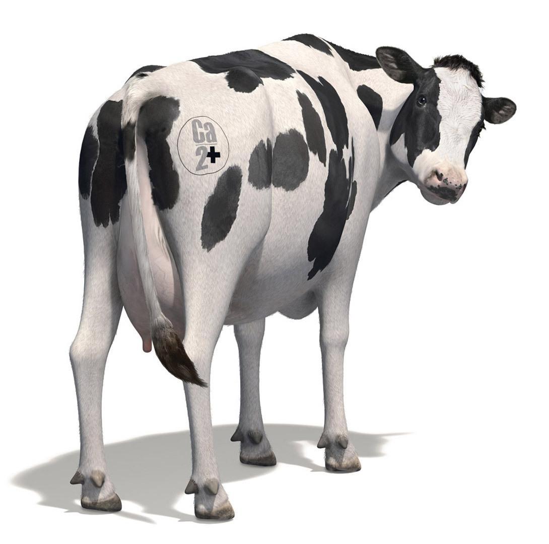Head Turning Cow