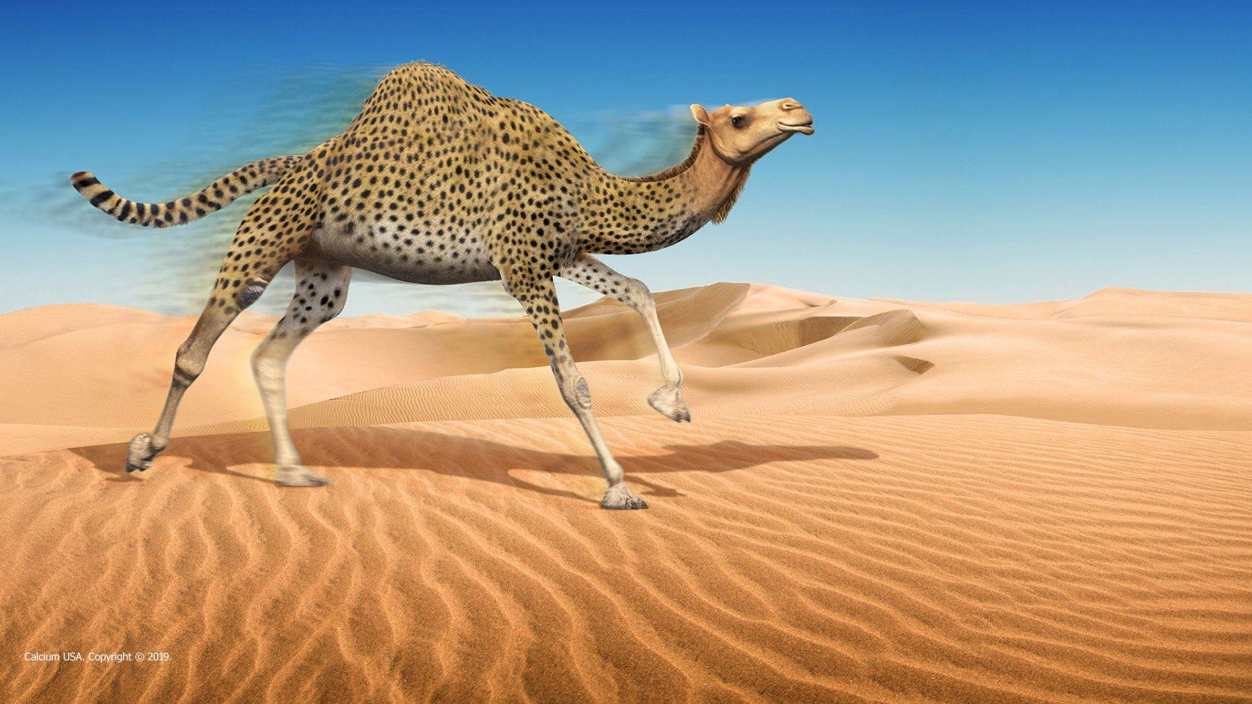 CHEETAH CAMEL